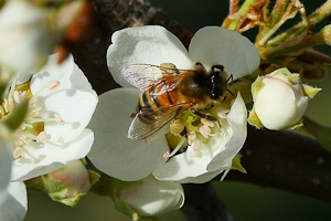 pearblossom bees