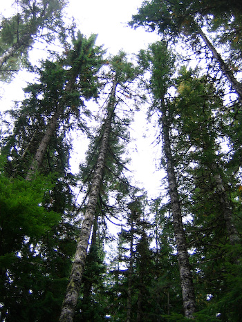 trees oregon